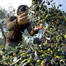 the italian olive harvest for extra virgin olive oil