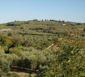 italian olive groves