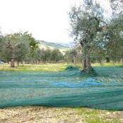 Pangia Oil Grove